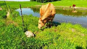 Mother cow calls on a complete stranger to rescue her calf [Video]