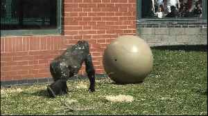 Giant toy ball creeps out gorilla youngster [Video]