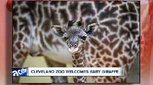 The Cleveland Metroparks Zoo welcomes new giraffe calf, and he's adorable [Video]