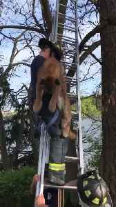 Cougar gets saved from a tree in British Columbia [Video]