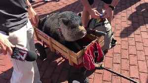 Hamilton the Lucky Pig Joins Carolina Hurricanes Tailgate Before Playoff Game [Video]