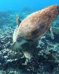Loggerhead Turtle Tries to Bite Another Turtle Underwater [Video]