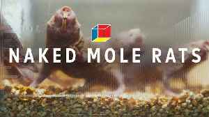 Can mole rats solve autism, epilepsy, and schizophrenia? [Video]