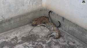 Two young leopards rescued from water tank in India [Video]