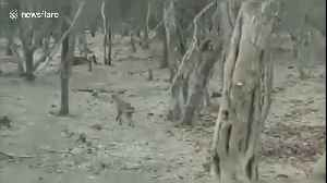 Fearless dog fights a wild lion in India [Video]