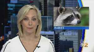 Rabid Raccoon Found Dead In Castle Shannon [Video]