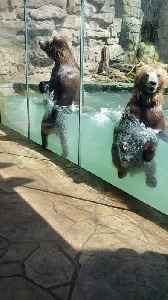 Couple of Bears Jump in a Pool at the Zoo [Video]
