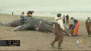 Malnourished Gray Whales Struggling To Make It Back To Arctic [Video]