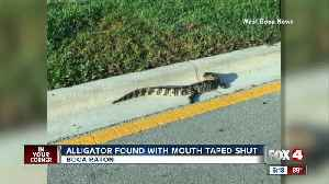 Alligator found with mouth tapped shut in Boca Raton [Video]