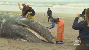Grey Whale Washed Up At San Francisco's Ocean Beach Likely Struck By Ship [Video]