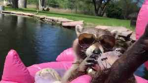 Raccoon Chills on Flamingo Float Eating Ice Cream [Video]