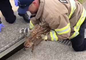California Firefighters Rescue Fawn Stuck in Storm Drain [Video]