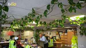 Monster Office Plant Grows Hundreds of Feet Filling an Entire Office [Video]