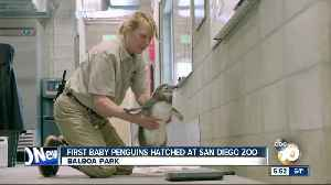 Baby penguins hatched at San Diego Zoo [Video]