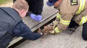 Firefigher Rescues Baby Deer From Storm Drain [Video]