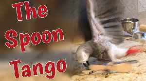 Talented parrot dances the Tango with a spoon [Video]
