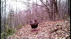 Wild turkey seems annoyed with camera on his morning walking trail [Video]