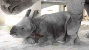 This Is Some Adorable Video of The World's First Test Tube Indian Rhino [Video]