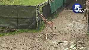 Giraffe calf makes first public appearance at the Cleveland zoo [Video]