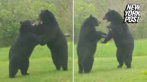 Man catches intense bear brawl on his front lawn [Video]