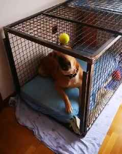 Dog Tries to Bite Tennis Ball While Lying Down in Crate [Video]