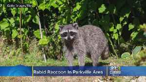 Rabid Raccoon Found In Parkville Area [Video]