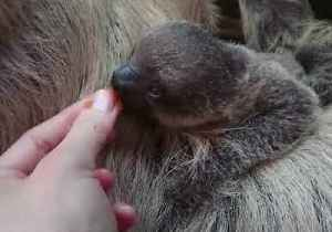 Baby Sloth Elio Welcomed at London Zoo [Video]