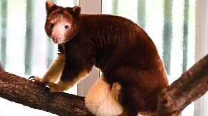Endangered Baby Tree Kangaroo Pops Out Of Momma's Pouch In Time For Mother's Day [Video]