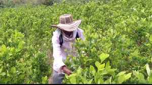 Colombian police fight against coca farming [Video]