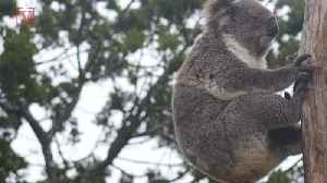 The Koala Is Now 'Functionally Extinct' Experts Say [Video]