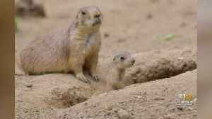 Prairie Dog Pups Emerge At The Maryland Zoo For First Time This Season [Video]