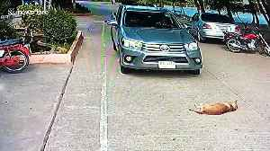 Lazy dog refuses to move from the middle of the road and has to be carried away [Video]