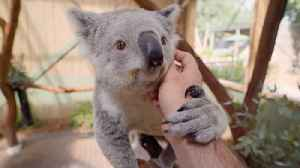 Koala-ity Kuddles! World's Most Chilled-out Koala Loves To Be Pampered [Video]