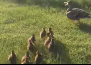 Rescued Ducklings Waddle Towards Mama Duck in Adorable Reunion [Video]