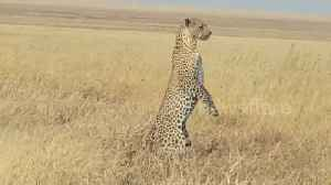 Mother leopard stands on hind legs to look for lost cub [Video]