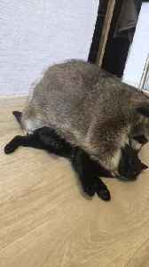 Raccoon and Cat Make Cute Pair [Video]