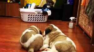 Puppy sits on his brother during adorable play-fight moment [Video]