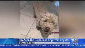 Girl Jumps Into Action To Help Dog Being Attacked By 2 Coyotes [Video]