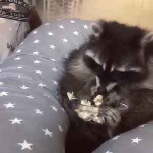 Racoon Sits on Pillow and Eats Chips [Video]