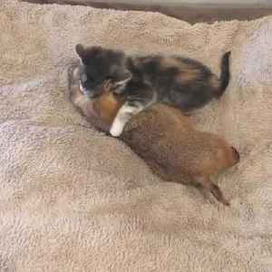 Tiny Kitten Cuddles and Cleans Sleeping Prairie Dog [Video]