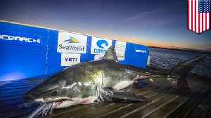 Giant great white sharks found near the Carolinas coast [Video]
