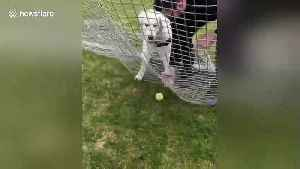 Puppy tries to run through soccer net during game of fetch [Video]