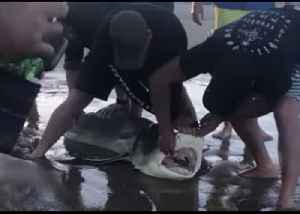 Shark Freed From Plastic by Queensland Fisherman and Beachgoers [Video]