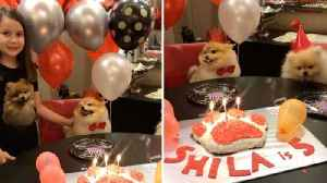 Adorable Pomeranian Celebrates Fifth Birthday [Video]