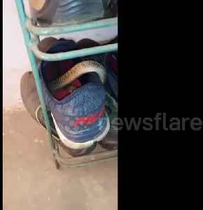 Careful where you step! Indian man finds cobra curled up inside his shoe [Video]