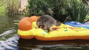 Pet Raccoon Plays on Inflatable Pizza Pool Float [Video]