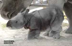 Endangered baby rhino born at U.S. zoo [Video]