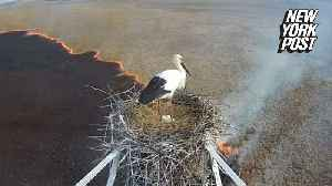 Stork family survives raging wildfire [Video]