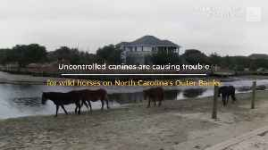 Unleashed Dogs Harassing Wild Horses [Video]
