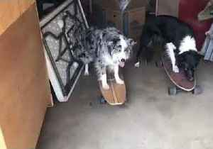 Eat Our Dust: Skateboarding Dogs Show Off Their Skills [Video]